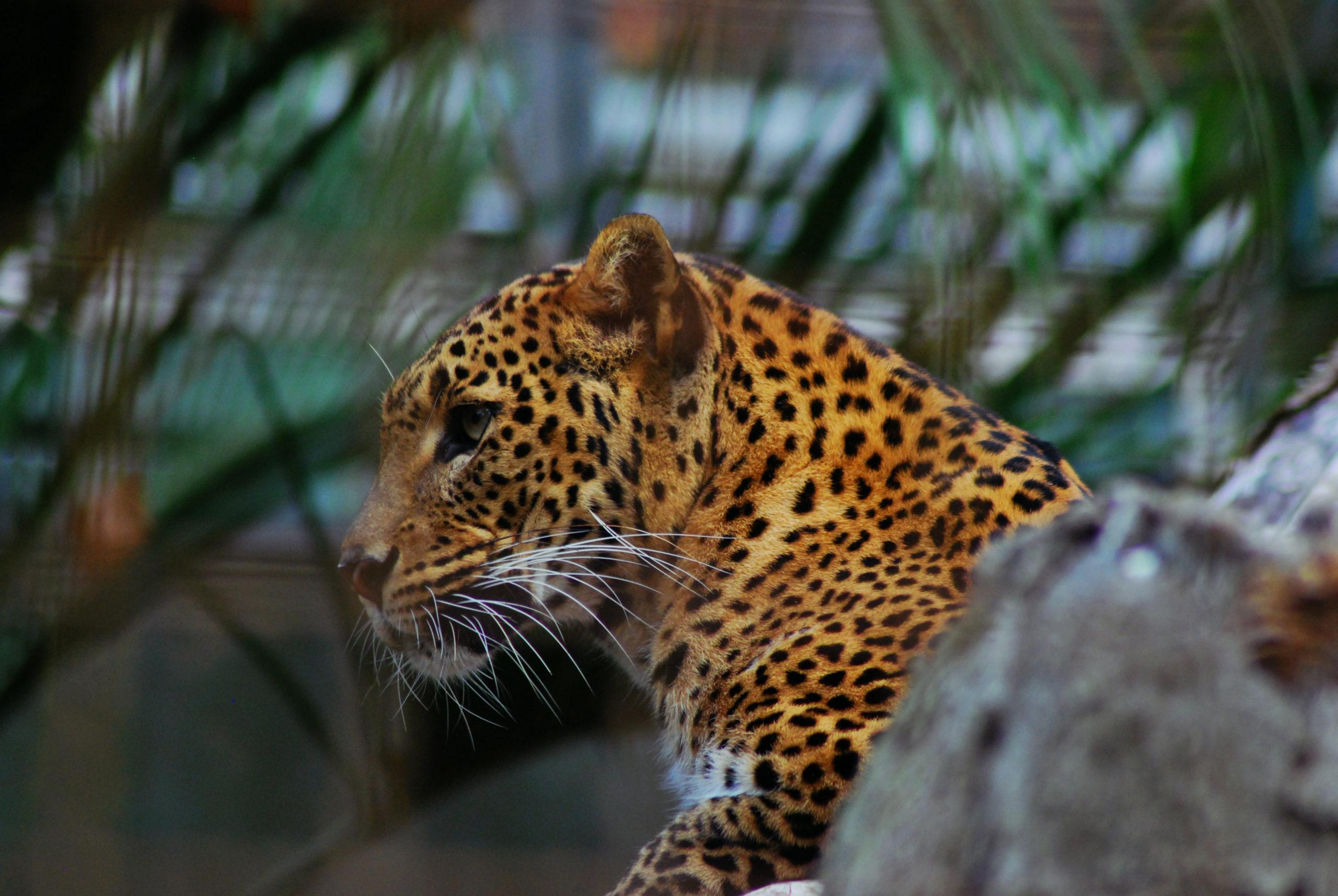 Leopardo solitario